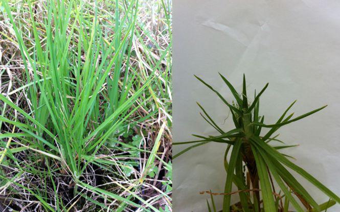 Genetic x environmental interactions in Kikuyu's toxicity