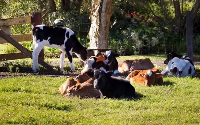 Improving dairy cow longevity through metabolomics